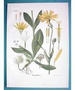 MOUNTAIN TOBACCO Medicinal Arnica Montana - Beautiful COLOR Botanical Print - $21.42