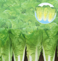 30pcs Cabbage Wong Bok Vegetable Seeds,Very Delicious Edible Vegetable IMA1 - $13.99