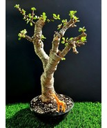 Giant Bonsai - Portulacaria afra Variegat - 20 year old plant - $335.90