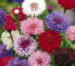 Non GMO Bulk Cornflower/Bachelor Button Seeds - 'Polka Dot Mixed' Centaurea cyan - $196.96