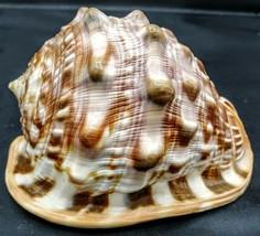 "Conch Sea Shell Exquisite White Brown Beach Nautical Decor 5"" - $18.80"