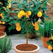 5 Seeds Lemon Tree Seeds, - $13.86