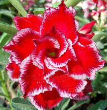 20pcs Very Beautiful Adenium Fire Red Double Flowers with Pale White Edge Flower - $25.88