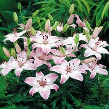 3 Flower Bulbs Lilium asiatic Rosellas Dream Bulbs  - $18.00