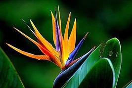 Hawaii Bird of Paradise Strelitzia Starter Plant Z - $29.99