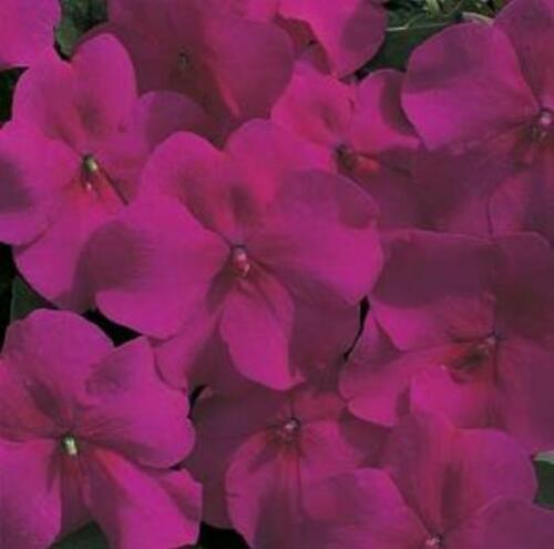 Primary image for Impatiens Accent Series Burgundy Annual Seeds