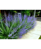 3 Plant  Starters with Roots - Russian Sage - $37.95