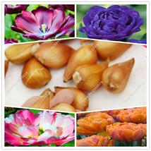 2 Bulbs True Tulip Rare Flower Bulbs, Exotic Indoor Home Plants Bonsai D... - $8.88