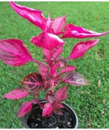 1 Live Plant - Iresine Herbstii 'Chicken Gizzard' Potted #HWG13 - $29.99