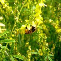 Best Price Big Bee Berseem & Yellow Sweet, Am Diy Home Garden Flowers 100 Seeds - $31.99
