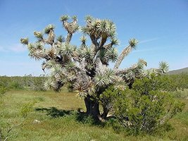 10 Seeds of Yucca Joshua Tree / Yucca brevifolia - $21.78