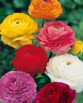 10,25 Fresh Bulbs - Ranunculus Flower Bulb or Mix Double Telecote #LLSM3 - $20.99+