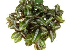 """Pilea Bronze - In 6"""" Pot - Houseplants - Home Garden - Outdoor Living - D11 - $63.99"""
