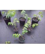 Real strawberry tree muntingia CALABURA live not seeds 4 FOOT TALL TREE - $76.44