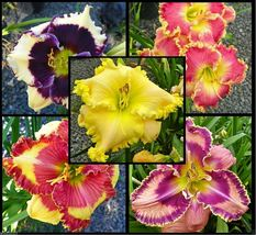 10 Daylily Seeds- Mix - Re-blooming throughout the season - Ready to Grow - $12.95