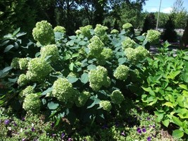 Starter Plant - Hydrangea Arborescens - Lime Rickey - $39.89