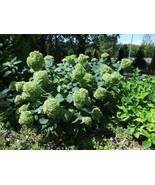 Starter Plant - Hydrangea Arborescens - Lime Rickey - $39.89