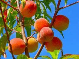 1 Red Haven Peach Tree -18+inch, Fast Growing Fruit & Flowering Shade - ... - $18.95