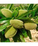 Sweet Almond Tree Prunus dulcis var. dulcis 5 seeds Bonsai Nut Tree CombSH - $15.21