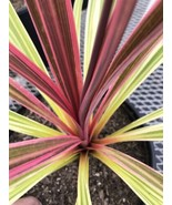 Live 5-gallon Plant Cordyline Can Can - $37.05