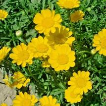 300+YELLOW DAISY Flower Seeds Asian Wildflower Drought Tolerant Long Blo... - $2.50