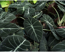 Guarantee Adenium Seeds Purple Series 20 Seeds BD913HxT9