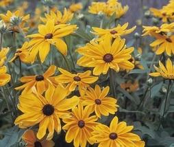 1000pcs Very Cute Fresh Seeds Rudbeckia Indian Summer #TLM1 - $23.99