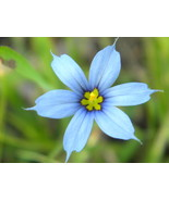 Blue Eyed Grass (Sisyrinchium atlanticum) - $3.50