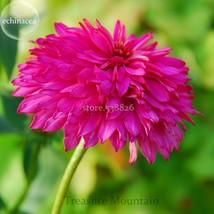 Rare 'Pink Poodle' Echinacea Purpurea, 100 Seeds, big blooms double cone... - $6.99