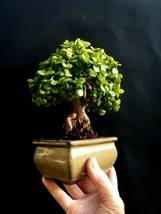 Miniature Bonsai - Perfect bonsai - Portulacaria afra - 16 year old plant - $95.04
