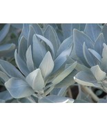 50 Seeds - White Sage - Hard to Find - $10.85