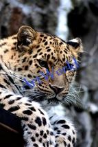 Leopard,Digital download,Photography,Christmas decor,Home decor wall,Pri... - $10.00