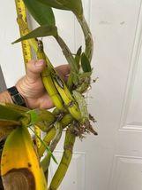 Schomburgkia grandiflora Myrmecophila Species Orchid Plant Blooming 0302j image 3