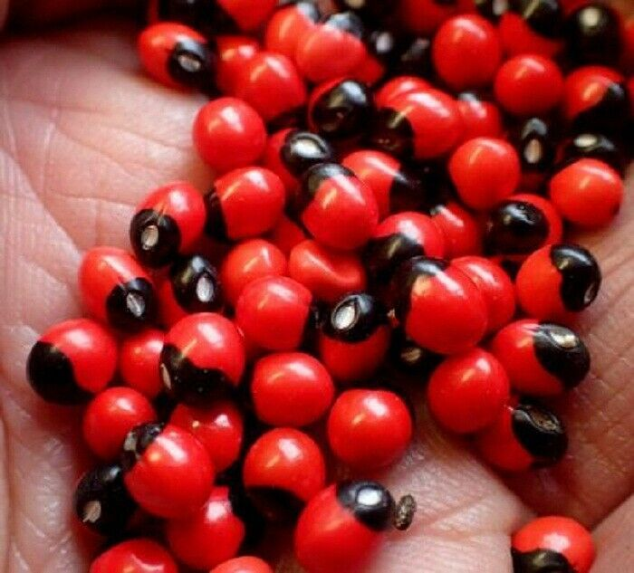 Primary image for Natural Seeds Rosary Pea/Ratti/Jequirity Bean/Coral Beads Make Fashion Jewelry