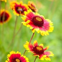 Blanket Flower-Gaillardia-Daisy family 100 seeds - $8.90