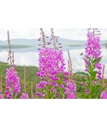 SHIPPED FROM US 600+Fireweed Rosebay Willow Herb Yanagiran Medicinal See... - $17.00