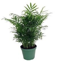 "Victorian Parlor Palm Plant Popular Chamaedorea 6""Pot Indoor Garden Best... - $21.33"