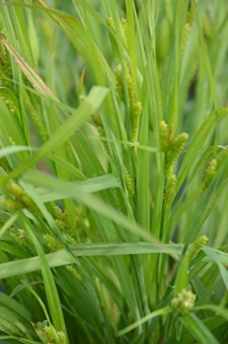 Seeds/Packet 200 Carex leptalea SLENDER SEDGE