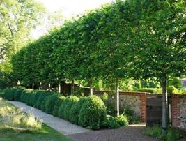 American Hornbeam tree (Carpinus caroliniana) quart pot image 2