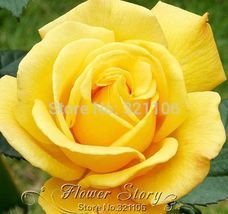 100 Yellow Rose Seeds- with intense citrus scent, easy growing home garden - $7.00