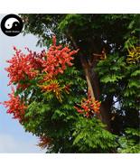 Nline plant koelreuteria integrifoliola tree for chinese golden rain tree luan shu  1  thumbtall