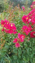 Dynamite Crape Myrtle 4-6 Ft Tree Deep Red Flowers Beautiful Flowering Plants - $96.95