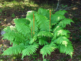 CINNAMON FERN 5 rhizome/root-(osmundastrum cinnamomeum) - $32.99