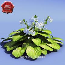 100 Seeds Hosta plantaginea Aphrodite Seeds Shade Perennials Plantain Li... - $6.99