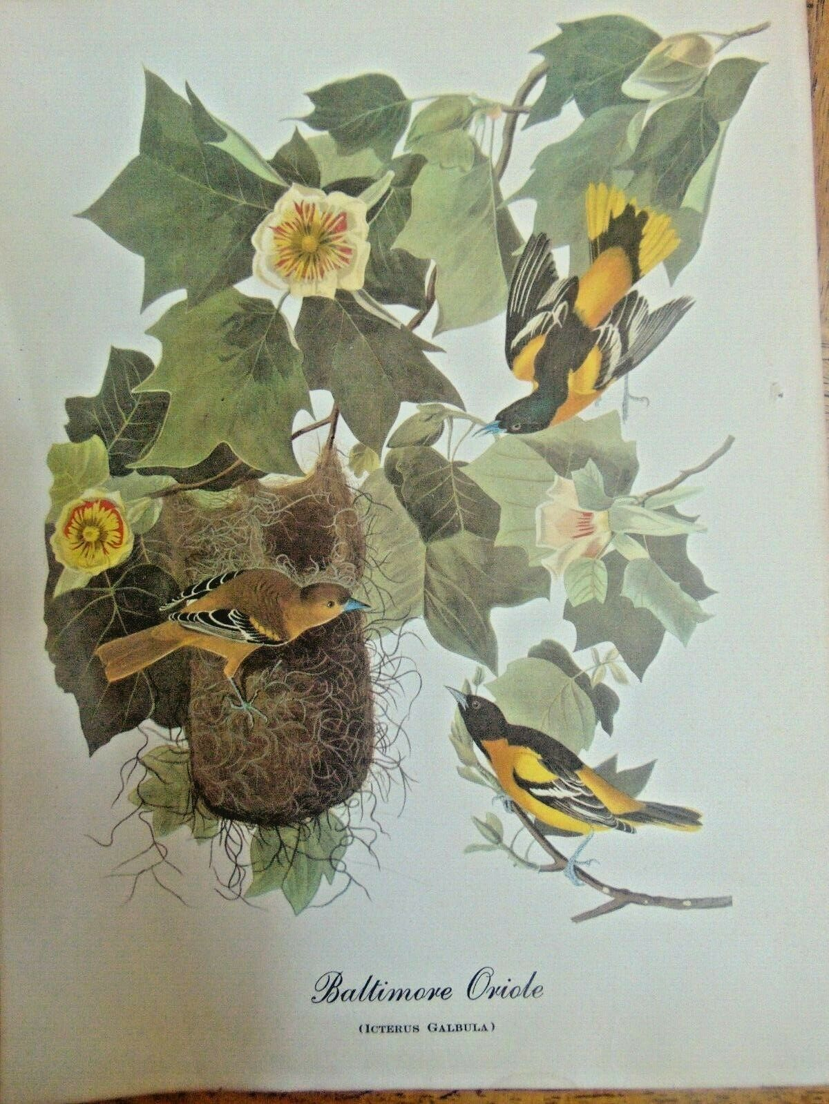 "Vintage Two Prints Baltimore Oriole  & American Redstart Very Old 9"" X 12"""
