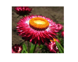 90 Seeds Fire Red Helichrysum Strawflower Annual Flower with golden eye - $12.99