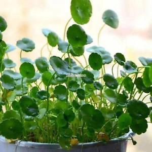 Green Creeping Dichondra Bodendecker Samen Pflanzensamen Potting ElR8