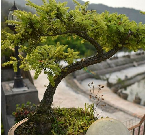 20 Juniper Bonsai Tree Seeds Potted Flowers And Similar Items