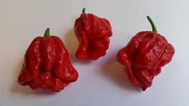 Trinidad Douglah / Red - Seeds - $4.00+
