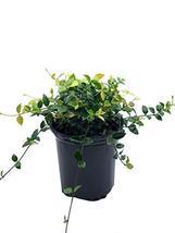 Asiatic Jasmine Minima - Trachelospermum Asiaticum - 6 Inch Pot - Ground... - $23.75